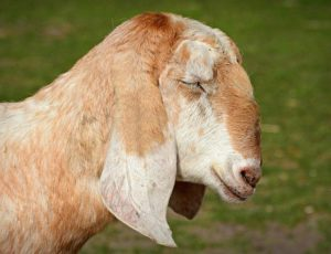 anglo-nubian-goat-4125953-640