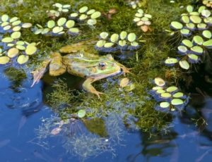 frog-